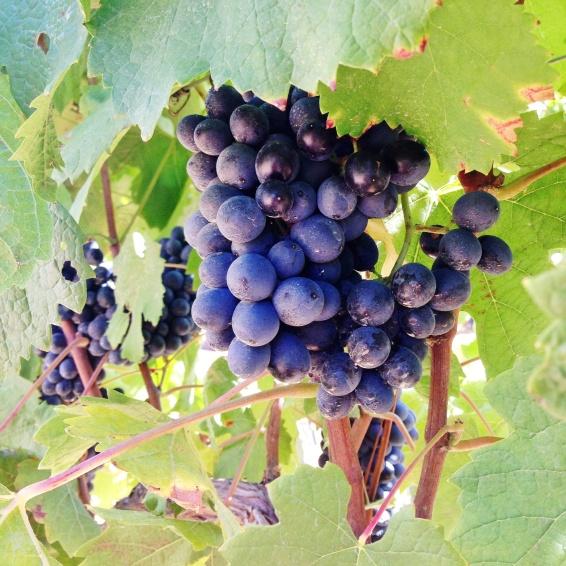 Vinhas infinitas e uvas madurinhas